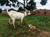 Ashley Peterson - IMG_8475 (LandOLakesID) Tags: ige innovation tanzania usaid africa gender smallholder