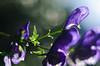 Monk's-Hood (Theo Crazzolara) Tags: blauereisenhut eisenhut blau lila berg aconitum napellus alpen alps alpin blume flower nature monkshood monk hood aconite wolfsbane blue violet macro