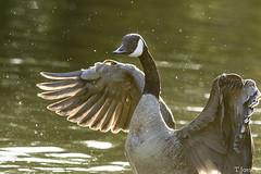 20170708_Vincennes_Bernache du Canada (thadeus72) Tags: anatidae anatidés ansériformes aves bernacheducanada birds brantacanadensis canadagoose oiseaux
