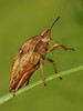 EOS 7D Mark II_052772 (gertjan.kamsteeg) Tags: animal invertebrate bug truebug heteroptera heteropteran insect eurygastertestudinaria scutelleridae tortoisebug tortoise macro