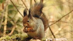 Red squirrel. (eerokiuru) Tags: redsquirrel sciurusvulgaris orav
