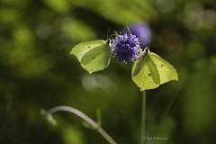 Citron ou Gonepteryx rhamni (vyclem78) Tags: gambaiseuil papillon citron gonepteryxrhamni yvelines d750 sigma180macro yvetteslemenson