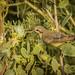 Nile Valley Sunbird, Djibouti City, Djibouti