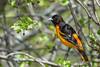 Baltimore Oriole (Jim McCree) Tags: icterusgalbula baltimoreoriole glenburnmaine may 2017 migration male
