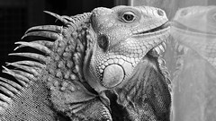Iguana (tpjackson) Tags: lizard iguana reptiles exotic exotics animals d90 nikon