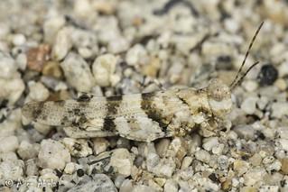 McNeill's White Grasshopper (Trimerotropis albescens) - Male