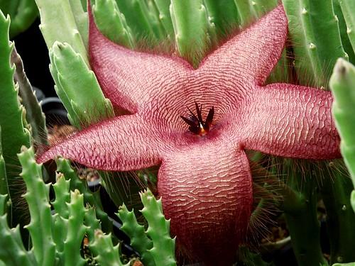 Stapelia flower