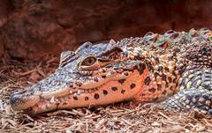 National Zoo (davebentleyphotography) Tags: davebentleyphotography dczoo nationalzoo 2017 animals canon canon60d dc smithsonian wildlife zoo
