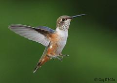 Rufous Hummingbird- female (Greg Miles) Tags: rufoushummingbird selasphorusrufus quadraisland britishcolumbia canada