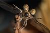 Curculio spec. (www.endlessfields.ch) Tags: curculionidae curculio rüsselkäfer coleoptera bug käfer animal insect insectphotography insekt switzerland schweiz luzern lucerne macro macrophotograph makro makrofoto closeup