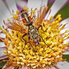 Eriothrix rufomaculata (Martin Cooper Ipswich) Tags: eriothrix rufomaculata eriothrixrufomaculata tachinid tachinidae diptera fly insect ipswich suffolk