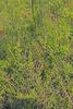 CAE004776a (jerryoldenettel) Tags: 170904 2017 asterids lycium lyciumtorreyi nm perchadamstatepark sierraco solanaceae solanales torreyswolfberry wildflower bush flower wolfberry