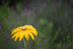 summer flower (kderricotte) Tags: flower plant sony sonya7ii helios44m458mmf2 vintagelens helios bokeh depthoffield