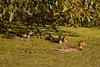 Mallard_Blue-winged_Teal_P1360331 (sendtoGandO) Tags: birds bluewingedteal ducks kitsapcounty mallard places teals washington