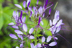 SLT04808 (rudenoon) Tags: sony slta99 sal135f18z garden flowers spiderplant cleome cleomehassleriana interlochen michigan usa