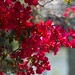 Newstead House Bougainvillea