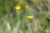a little bit of sunshine (MaggyN) Tags: ranunculus