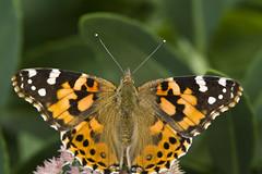 Specimen shot (back stage) Tags: paintedlady butterfly wings orange black hairy garden macro sprinfield mo