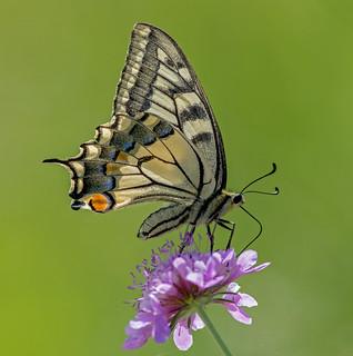 DSC1139  Swallowtail..