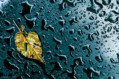 end of summer (soundmoods) Tags: summer autumn end leave reflection water drop wet waterdrop canon 24105l 6d igopieters isolated endofsummer