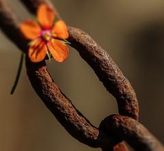 always new over old.. Macro Mondays - Rust (Luana 0201) Tags: rust macro macromondays flower red light sun old new