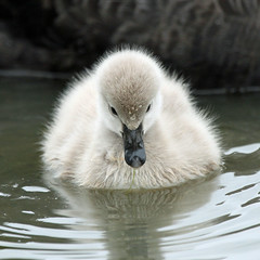 buoyant (hennessy.barb) Tags: cygnet blackswancygnet babyswan bouyant afloat fluffball fluffy downy innocent young barbhennessy