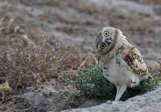 I'm sorry did you say it was Monday? Burrowing Owl -  4382b+