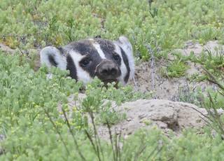 American Badger 2157
