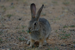 rabbit with lunch (brian eagar - very busy - not much time to comment) Tags: animal nature wild wildlife 100400 rabbit bunny eating feeding food grass cute