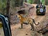 Königstiger (uwizisk) Tags: bengaltiger india indien indischertiger kanhanationalpark königstigerpantheratigristigris royalbengaltiger tigerpantheratigris
