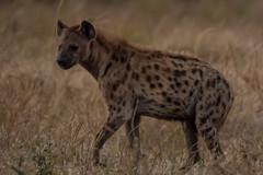 180A8785.jpg (donnatopham) Tags: botswana chobe hyena