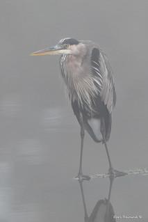 Heron on a foggy day
