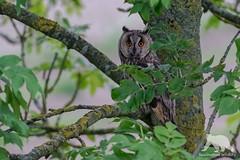 Long Eared Owl (fascinationwildlife) Tags: animal bird raptor raubvogel vogel dusk wild wildlife nature natur nordfriesland tree forest germany deutschland schleswig holstein long eared owl eule europe waldohreule north summer