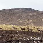 Highland scene with stags and wind turbine thumbnail