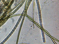 Bacteria (Oscillatoria willei) (shadowshador) Tags: bacteria oscillatoria willei eubacteria negibacteria cyanobacteria cyanophyceae oscillatoriophycidae oscillatoriales oscillatoriaceae taxonomy scientific classification biology wildlife life water microscope microscopic microbiology bacteriology green tropical freshwater aquarium