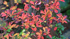 170927Enkianthus7552pw (GeoJuice) Tags: trees acers autumn autumncolours garden scotland geojuice