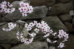 Akashi Sakura (DanÅke Carlsson) Tags: japan japanese sakura cherry blossom flowers traditional stone wall akashi