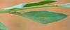 CAE006034a (jerryoldenettel) Tags: 170917 2017 darkmilkwort fabales grantco nm polygala polygalaobscura polygalaceae rosids velvetseedmilkwort velvetseedmilkwortatblackhawkcanyon wildflower flower milkwort