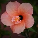 Una flor de Hibiscus thumbnail
