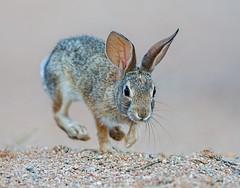 Desert cottontail (Eric Gofreed) Tags: arizona desertcottontail elephantheadpond rabbit santacruzcounty