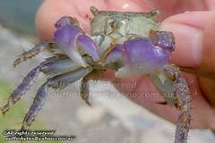 Purple Climbing Crab - Metopograpsus sp. (puffinbytes) Tags: spb:id=02tz metopograpsus taxonomy:genus=metopograpsus metopograpsussp taxonomy:species=sp taxonomy:binomial=metopograpsussp spb:species=metopograpsussp purpleclimbingcrab taxonomy:common=purpleclimbingcrab grapsidae taxonomy:family=grapsidae decapoda taxonomy:order=decapoda malacostraca taxonomy:class=malacostraca arthropoda taxonomy:phylum=arthropoda arthropods animalia taxonomy:kingdom=animalia animals changivillage spb:pty=f spb:pid=10fs spb:lid=00el spb:country=sg singapore