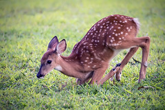 Brian_Fawn Kneeling Down 1 LG_083017_2D (starg82343) Tags: 2d brianwallace deer fawn spotted mammal animal wildlife nature grass kneeling cute adorable fortsmallwoodpark profile whitetail juvenile babydeer