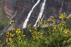 Flowers and the Falls (isaac.borrego) Tags: uploadedviaflickrqcom mountains peaks lake storm waterfall grinnelllake manyglacier glacier nationalpark montana canonrebelt4i