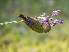 Sunbird (Robert-Ang) Tags: sunbird bird animal nature wildlife chinesegarden singapore animalplanet