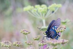Eastern Tiger Swallowtail (joehoeper) Tags: avl westernnorthcarolina nationalforest appalachianmountains pisgahnationalforest brevard northcarolina 828 naturephotography blueridgemountains blueridgeparkway