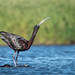 Glossy Ibis by Melissa James Photography