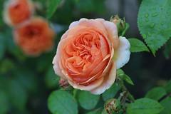 Rose (LuckyMeyer) Tags: grün green apricot david austin rose flower fleur summer garden garten sommer makro rain water tropfen regen