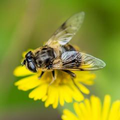 Hi Honey! (DobingDesign) Tags: honeybee bee insect macro green macrophotography dandelion yellow wings eyes body thorax wingmembrane detail depthoffield closeup collectingnectar delicate flower hairy petals dof