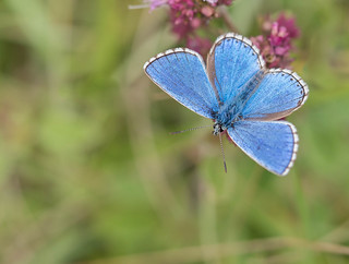 Adonis Blue...polyommatus bellagrus.