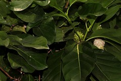 Morinda citrifolia (andreas lambrianides) Tags: morindacitrifolia rubiaceae australianflora australiannativeplants australianrainforestplants australianrainforests australianrainforestfruitsandseeds australianrainforestfruits australianrainforestseeds arfp qrfp ntrfp warfp arffs greenarffs